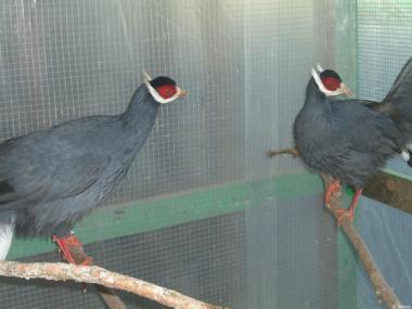 продам фазанов синих ушатых