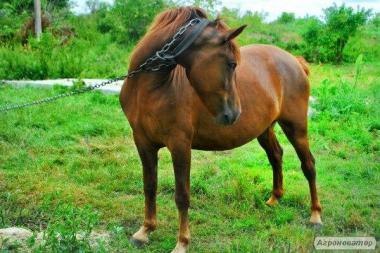 продам отличную молодую лошадь, очень срочно ищет хорошие ручки
