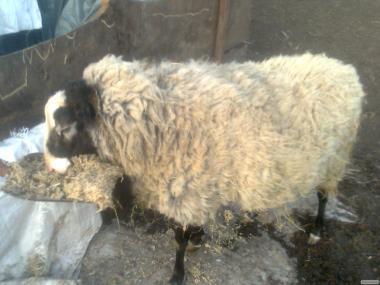 Продам Овцы романовской породы