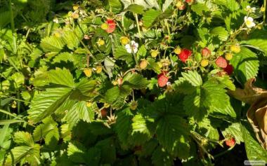 Продам свіжі ягоди суниці ремонантної