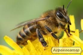 Продам бджолопакети  Вінницька обл.Бершадський р-н, с.В Киріївка