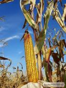 гибрид кукурузы Гран 310