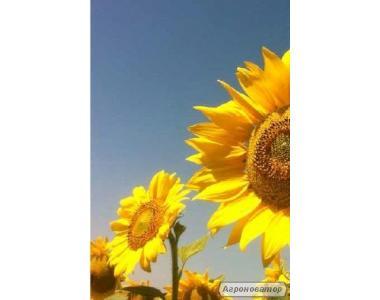 Насіння соняшнику МАС 83 OL (Maisadour)