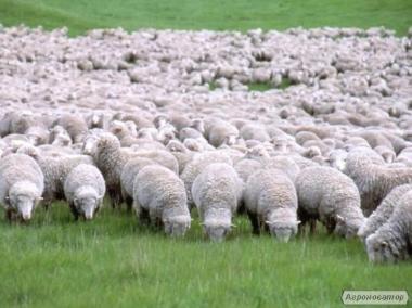Куплю овцы оптом от 30 штук и выше чисто породы  Романов и ,меринос.
