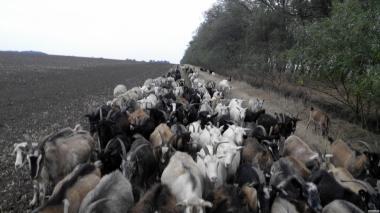 продам 100 кіз