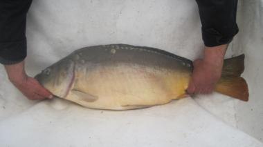 личинка карповых рыб