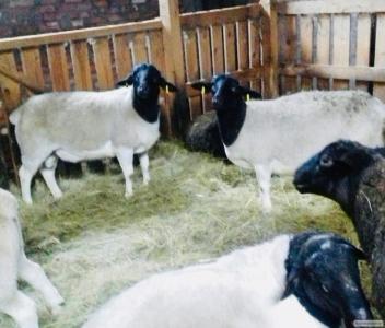 Продам племенных баранов породы Дорпер