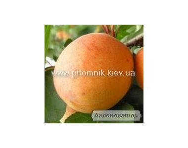 Саженці абрикосу Наслаждение