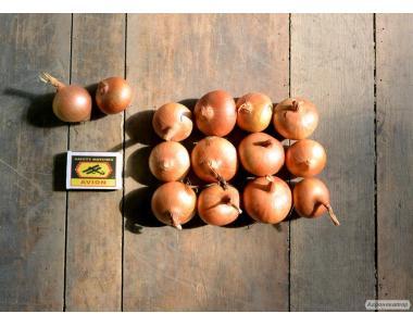 Лук  штутгарт на перо (Украина) 4-6 см, в наличии!