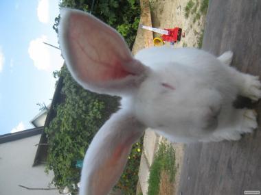 Продам кроликів Бельгійський велікан(ФЛАНДЕР),та Білий великий з ЄВРОПИ