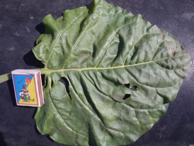 продам семена десяти сортов табака и пяти сортов махорки 10 грн 1 гр