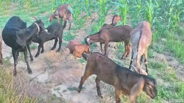 Англо-нубийские козы чистопородные