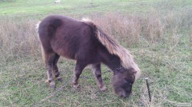 Продам пони недорого (шотландские)