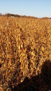 Соя не ГМО продам