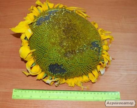 Семена подсолнечника под Гранстар (Экспресс) – АНТЕЙ