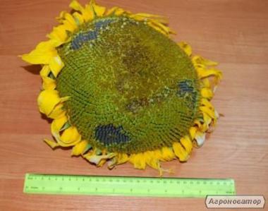 Насіння соняшнику під Гранстар (Експрес) – АНТЕЙ