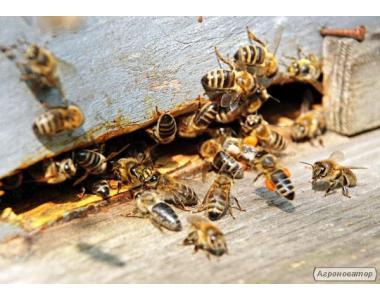 Пчёлы.Пчелопакеты.Пчелиные плодные меченые матки.Карпатка.ВСЯ УКРАИНА