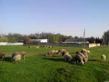 Продам отару овець Меринос