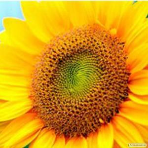 Насіння соняшнику НК Бріо