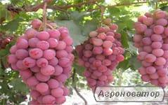 Замена сортов винограда перепрививкой