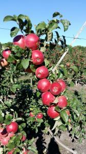 Продам яблука сортові та на переробку урожай 2018