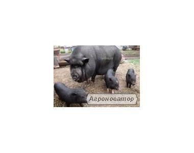 Продам поросят вьетнамской вислобрюхой свиньи.