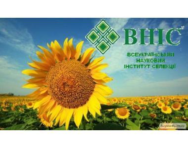 Гібрид «Український F1» / Соняшник