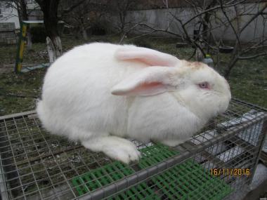 Робочий кроль