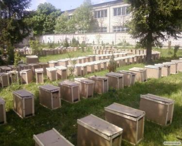 Розплідник р. Мукачево доставляє бджолопакети по Україні.Без ПЕРЕДОПЛАТ!!!