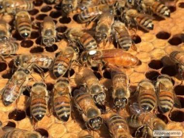 Бджоломатки укр.степн. та італійка Ф1 (кордован).