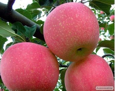 Саджанці яблуни сорт Фуджі