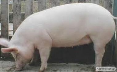 Продам ремонтних свиноматок F1