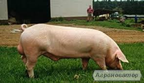 Продам кнуров(хряков) и свинок (ремки)