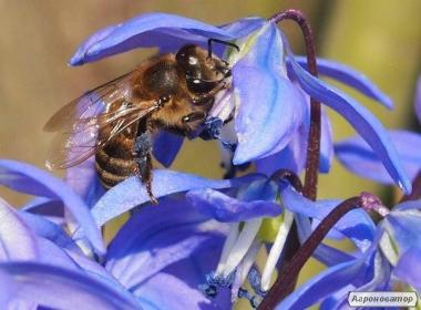 Продам бджолосім ' ї, відводки,пакети, не дорого, від господаря