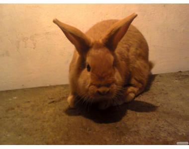 продам кролики разних пород