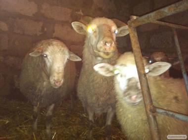 Овца взрослая плодотворная