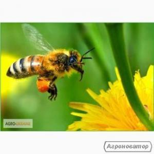 Продам пчелосемьи в Сумах украинско-степной породы