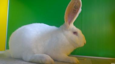 Кролики м'ясних порід Термонський білий