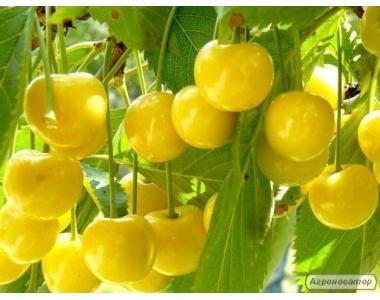 Саженцы черешни Желтая Ранняя отличного качества, от производителя