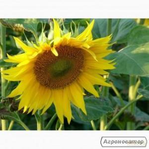 Пропонуємо придбати насіння гібридів соняшнику