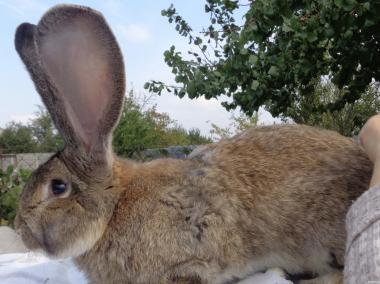 продам кролів для розведення