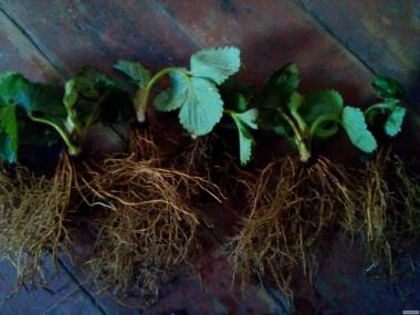 реализуем рассаду клубники