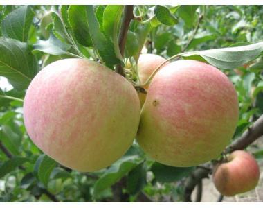 Саджанці плодових рослин із свого розплідника