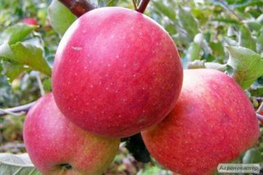 Саженцы яблони сорта Ред Фуджи от производителя