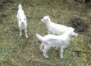 Продаются козлята Ламанча 100% и 50%