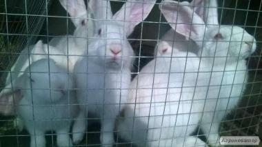 продам кроликов породы Белый Паннон живым весом