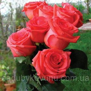 Роза Импульс