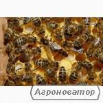 Продам плідні бджоломатки української степової породи бджіл