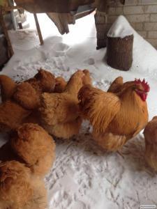 Продам Яйцо инкубационное кур породы орпенгтон палевый