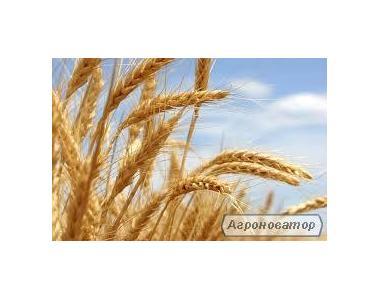 Богдана посевной материал озимой пшеницы
